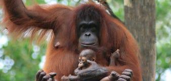 Madre e bambino dell'orangutan Immagine Stock