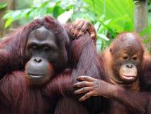 Madre e bambino dell'orangutan Fotografia Stock