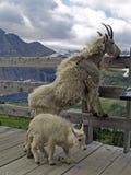Madre e bambino della capra di montagna Fotografia Stock Libera da Diritti