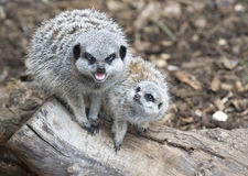 Madre e bambino Meerkat Immagini Stock Libere da Diritti