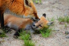Madre e corredo di Fox rosso Immagini Stock