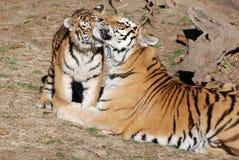 Madre e cub Fotografia Stock