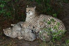 Madre e Cubs del ghepardo Fotografia Stock Libera da Diritti