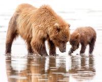 Madre e cucciolo dell'orso bruno che scavano per le vongole Fotografia Stock