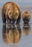 Madre e cucciolo dell'orso bruno dell'Alaska Immagini Stock