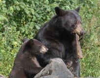 Madre e cucciolo dell'orso nero Fotografia Stock Libera da Diritti