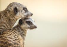 Madre e cucciolo di Meerkats Fotografia Stock Libera da Diritti