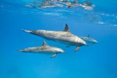 Madre e delfini giovanili del filatore nel selvaggio. Immagini Stock Libere da Diritti