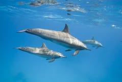 Madre e delfini giovanili del filatore nel selvaggio. Fotografia Stock