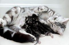 Madre e gattino americani dello shorthair Fotografia Stock