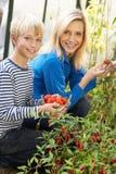 Madre e hijo que cosechan los tomates Fotos de archivo libres de regalías