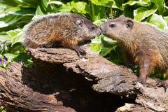 Madre e marmotte neonate Fotografie Stock Libere da Diritti