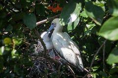 Madre e pulcino Rosso-pagati della testa di legno sul nido Fotografie Stock
