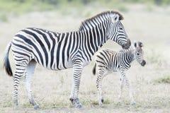 Madre e puledro della zebra delle pianure sulla savanna, fotografia stock