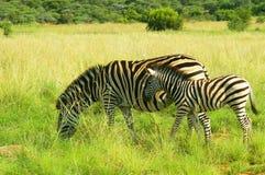 Madre e puledro della zebra nel parco nazionale di Pilanesberg, Sudafrica Immagini Stock Libere da Diritti