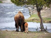 Madre e vitello Immagini Stock Libere da Diritti