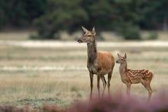 Madre e vitello dei cervi rossi Fotografia Stock