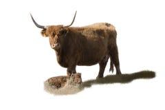 Madre e vitello dell'abitante degli altipiani scozzesi Fotografia Stock