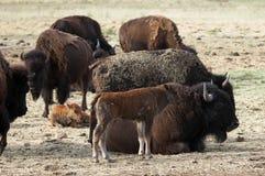 Madre e vitello della Buffalo Fotografie Stock Libere da Diritti