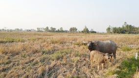 Madre e vitello della Buffalo in una risaia immagine stock