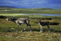 Madre e vitello della renna Immagini Stock Libere da Diritti