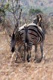 Madre e vitello della zebra che restano insieme vicini immagine stock libera da diritti