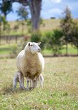 Madre ed agnelli Fotografia Stock Libera da Diritti