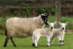 Madre ed agnelli immagini stock
