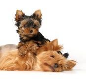 Madre ed il suo bambino bello. Il Terrier di Yorkshire Fotografia Stock