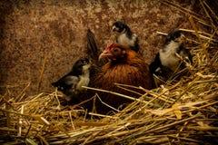 Madre Hen Cares para los nuevos polluelos Imagen de archivo