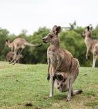 Madre nativa australiana del canguro con joey del bebé en la bolsa que se coloca en campo foto de archivo libre de regalías