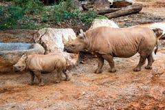 Madre negra del rinoceronte y su becerro Fotos de archivo libres de regalías