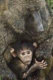 Madre Olive Babboon ed il suo bambino Fotografie Stock