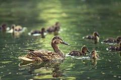 Madre-pato Fotografía de archivo libre de regalías