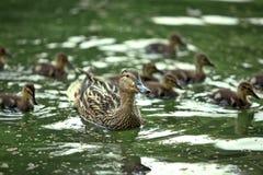 Madre-pato y anadones Imagen de archivo libre de regalías