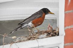 Madre Robin Bird Feeding Her Babies ad un nido fotografia stock libera da diritti