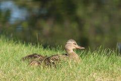 Madre y anadones del pato silvestre Fotografía de archivo