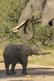 Madre y bebé (africana del elefante del Loxodonta) Fotos de archivo