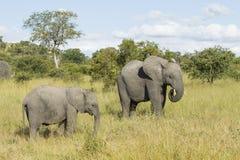 Madre y bebé (africana) del Loxodonta Afr del sur del elefante africano Fotografía de archivo