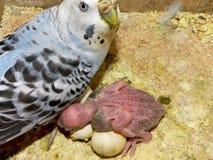 Madre y bebé de Budgie Imagen de archivo