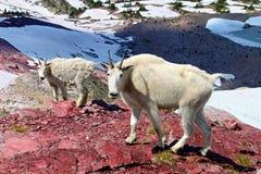 Madre y bebé de la cabra de montaña fotos de archivo