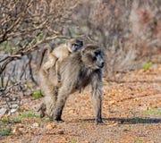 Madre y bebé del babuino de Chacma Fotografía de archivo