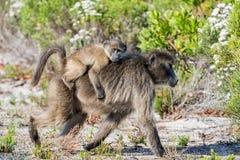 Madre y bebé del babuino de Chacma Fotos de archivo libres de regalías