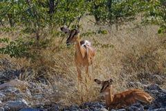 Madre y bebé del impala imagen de archivo libre de regalías