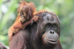 Madre y bebé del orangután