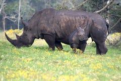 Madre y bebé del rinoceronte Imágenes de archivo libres de regalías