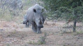 Madre y bebé del rinoceronte foto de archivo libre de regalías