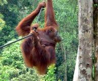 Madre y bebé, orangutanes rehabilitados Foto de archivo libre de regalías