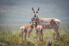 Madre y bebés del antílope de Pronghorn Foto de archivo libre de regalías