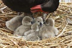 Madre y bebés del cisne Imagenes de archivo